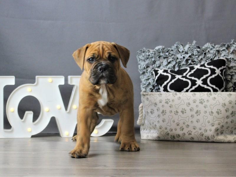 Olde Bulldog-DOG-Male-Brown-3189575-Petland Carriage Place