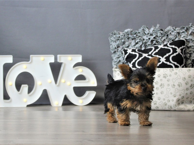Yorkshire Terrier-DOG-Male-Black / Tan-3189581-Petland Carriage Place