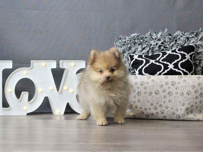 Pomeranian-DOG-Female-Orange-3189709-Petland Carriage Place