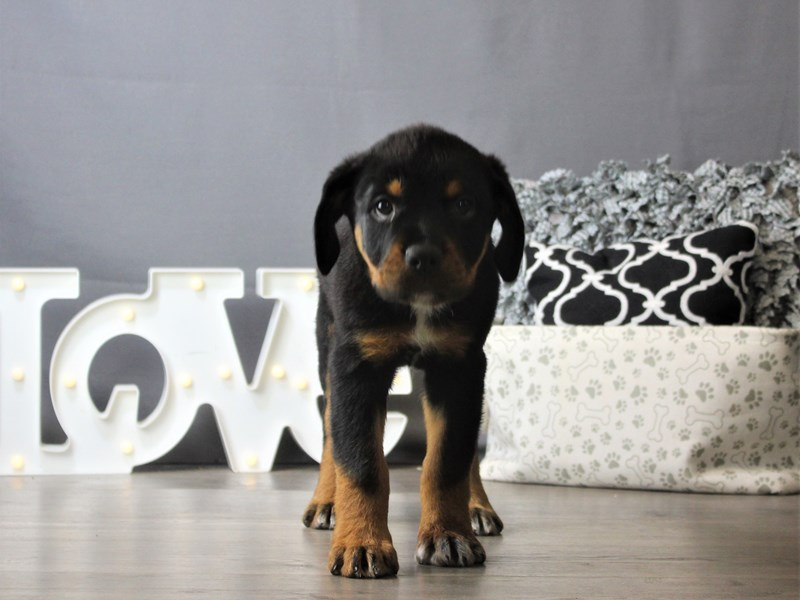 Rottweiler-DOG-Male-Black / Tan-3218378-Petland Carriage Place