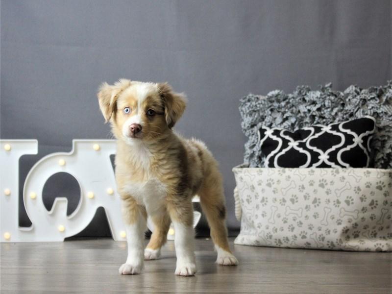 Miniature Australian Shepherd-DOG-Male-Red Merle-3218363-Petland Carriage Place