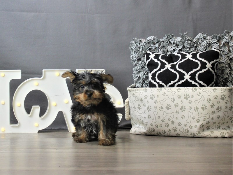 Silky Terrier-DOG-Male-Black / Tan-3228577-Petland Carriage Place