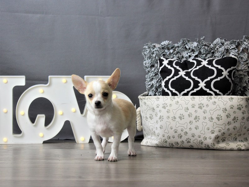 Chihuahua-DOG-Male-Cream-3228579-Petland Carriage Place