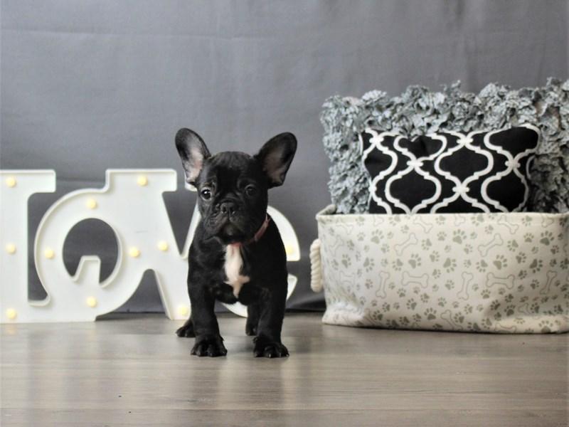 French Bulldog-DOG-Female-Brindle-3228089-Petland Carriage Place