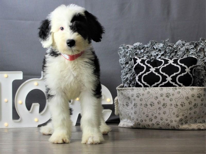 Sheepadoodle-DOG-Male-Black / White-3228069-Petland Carriage Place