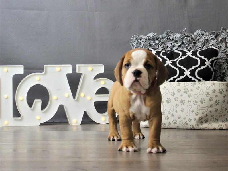 Bulldog-DOG-Male-Red / White-3227926-Petland Carriage Place