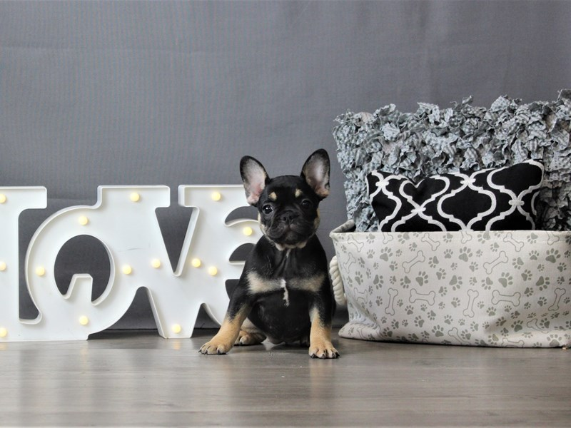 French Bulldog-DOG-Female-Black / Tan-3237647-Petland Carriage Place