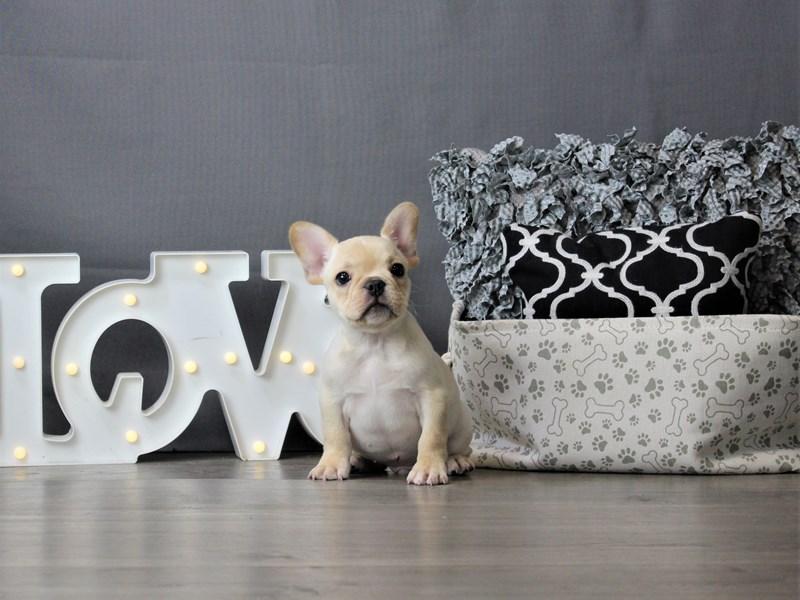 French Bulldog-DOG-Male-Cream-3237646-Petland Carriage Place