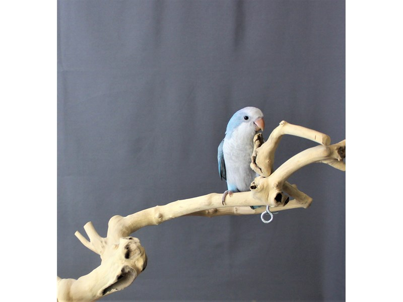 Quaker Parrot--Blue-3225349-Petland Carriage Place