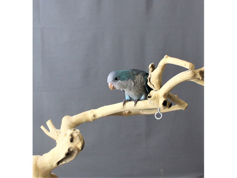 Quaker Parrot--Blue-3225353-Petland Carriage Place
