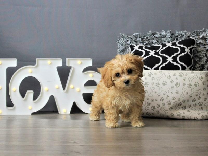 Cavachon-DOG-Female-Apricot-3247203-Petland Carriage Place