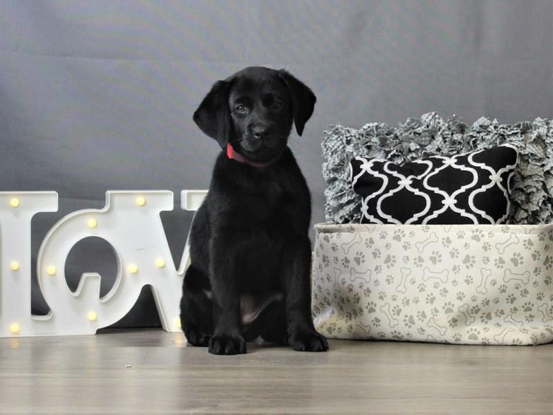 Labrador Retriever-DOG-Female-Black-3247205-Petland Carriage Place