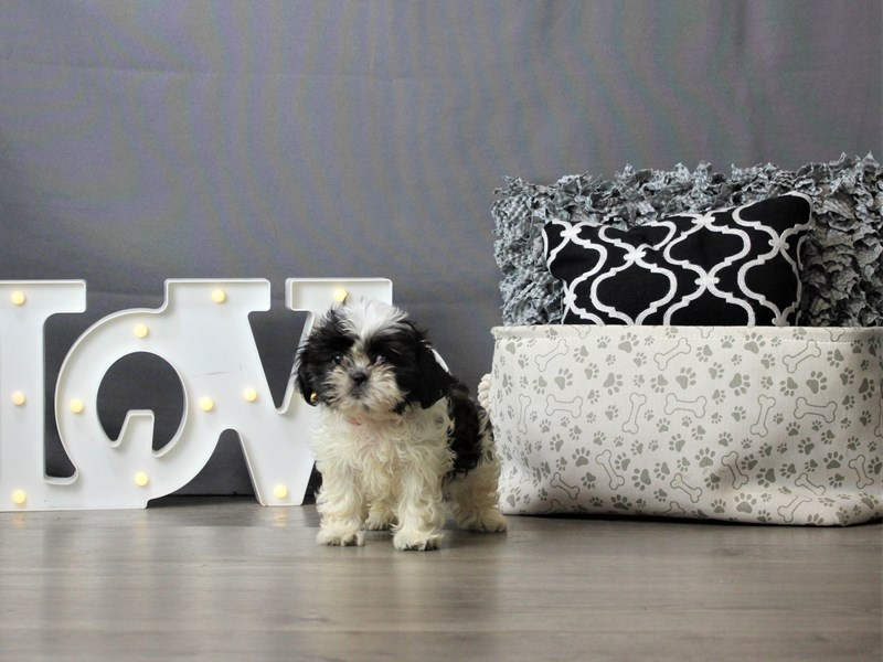 Shih Tzu-DOG-Female-Sable / White-3247209-Petland Carriage Place