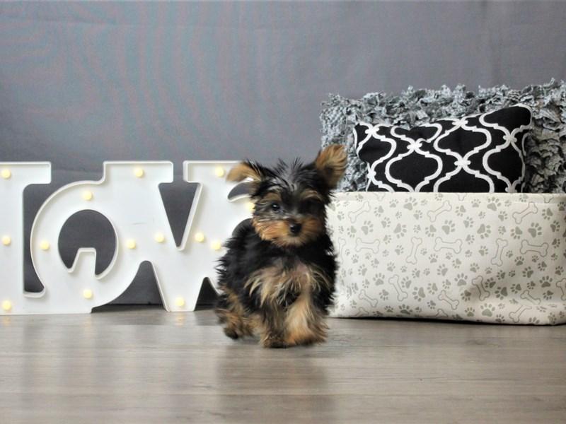 Yorkshire Terrier-DOG-Female-Black / Tan-3247210-Petland Carriage Place
