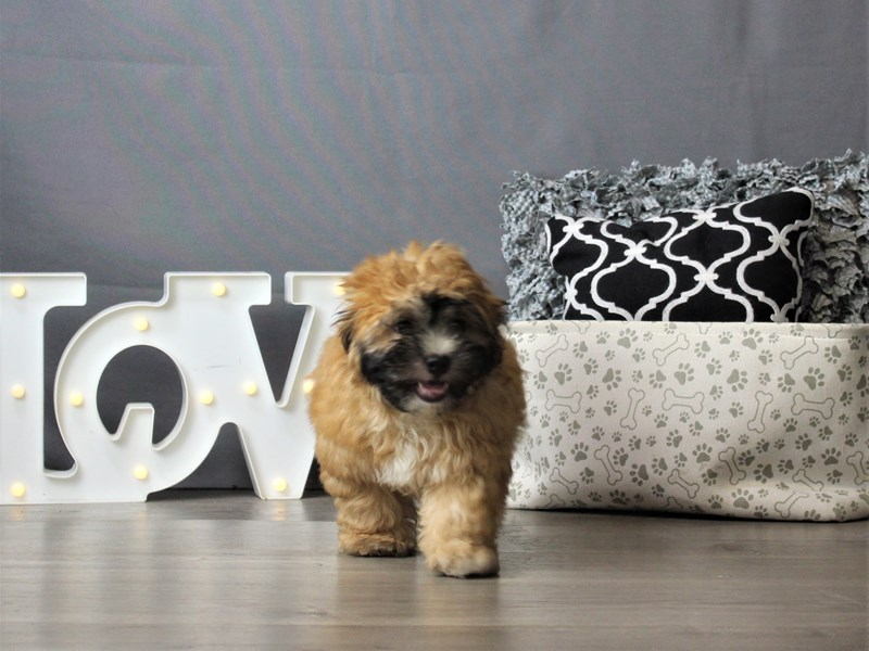 ShizaPoo-Male-Brown-3247217-Petland Carriage Place