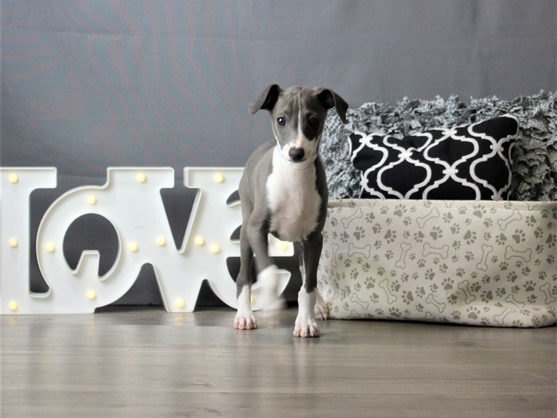 Italian Greyhound-Male-Blue-3247215-Petland Carriage Place