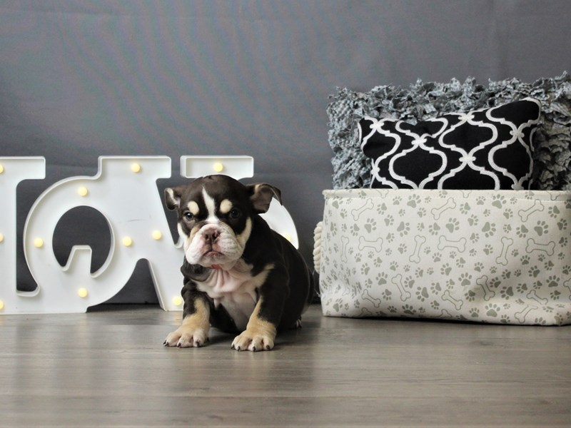 Bulldog-DOG-Female-Chocolate White Tan-3247374-Petland Carriage Place
