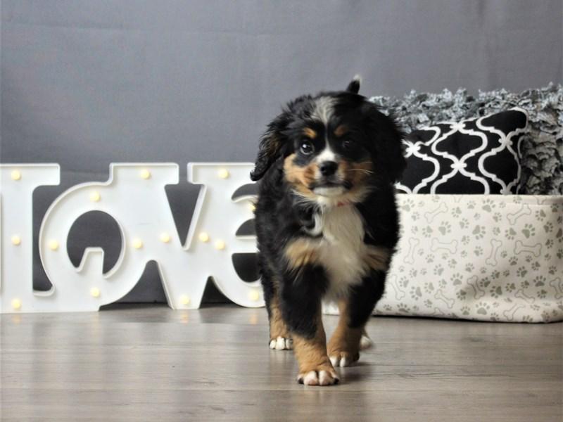 Mini Bernese-DOG-Female-Black White / Tan-3247435-Petland Carriage Place