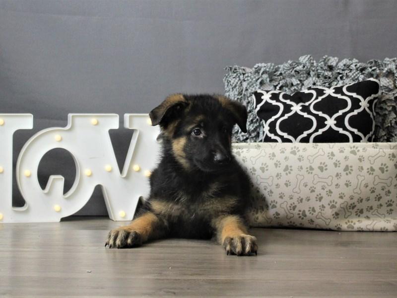 German Shepherd Dog-DOG-Male-Black / Tan-3256618-Petland Carriage Place