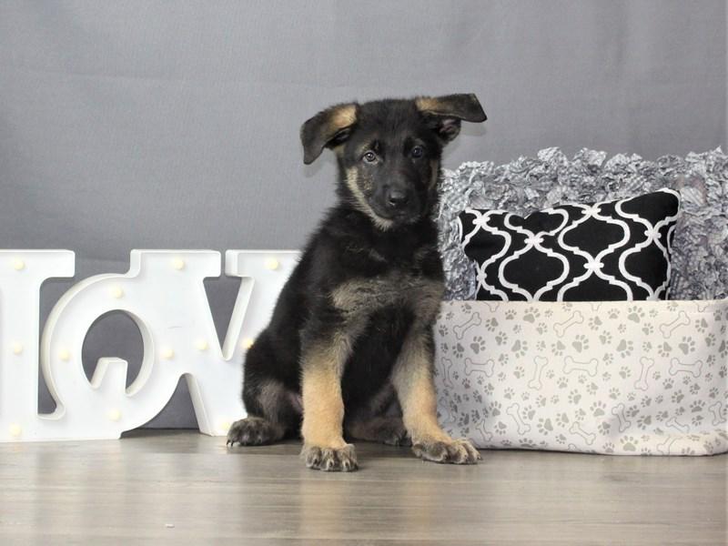 German Shepherd Dog-DOG-Male-Black / Tan-3256619-Petland Carriage Place