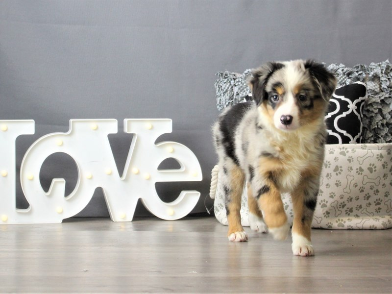 Miniature American Shepherd-DOG-Female-Blue Merle-3256623-Petland Carriage Place