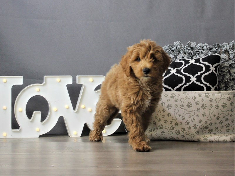 Mini Goldendoodle-Male-Red-3256628-Petland Carriage Place