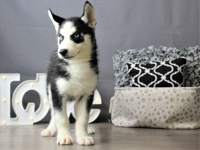 Siberian Husky-Male-Black / White-3256845-Petland Carriage Place