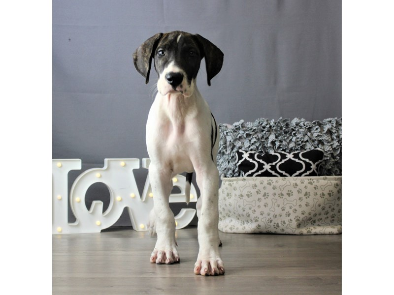 Great Dane-Male-Brindle/ White-3266634-Petland Carriage Place