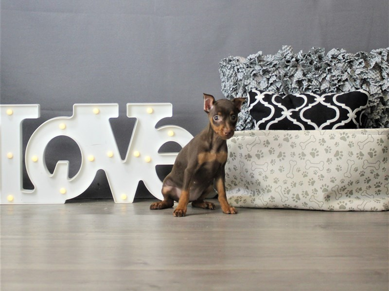 Miniature Pinscher-Female-Chocolate and Tan-3266640-Petland Carriage Place