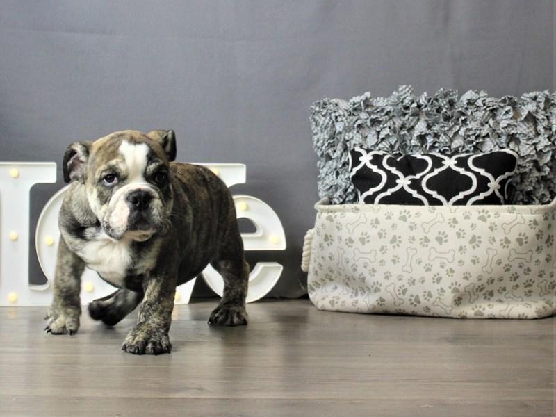 Bulldog-DOG-Male-Brindle-3266642-Petland Carriage Place