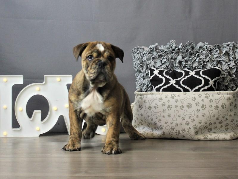 Bulldog-DOG-Female-Brindle-3266643-Petland Carriage Place