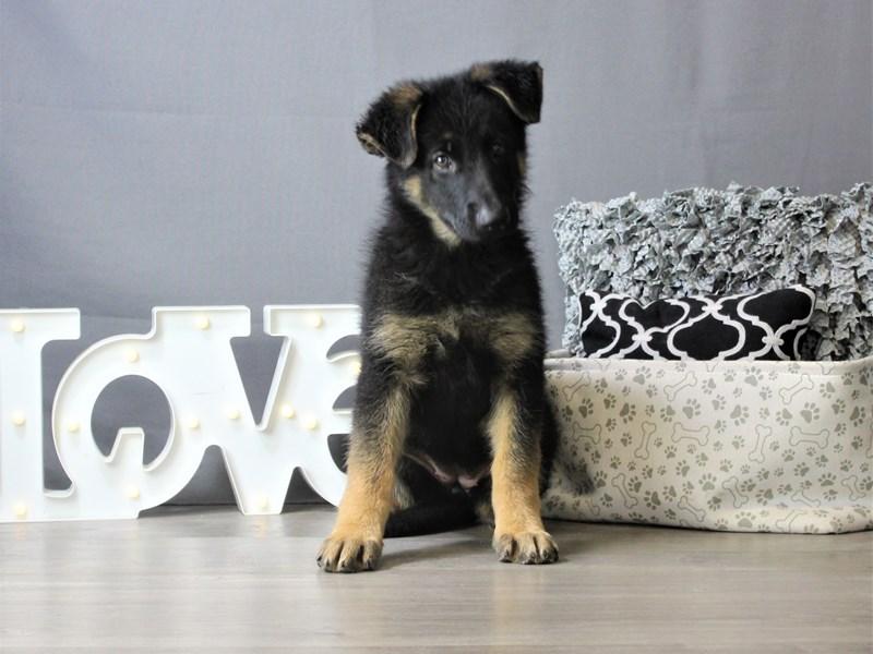 German Shepherd Dog-DOG-Female-Black / Tan-3275344-Petland Carriage Place