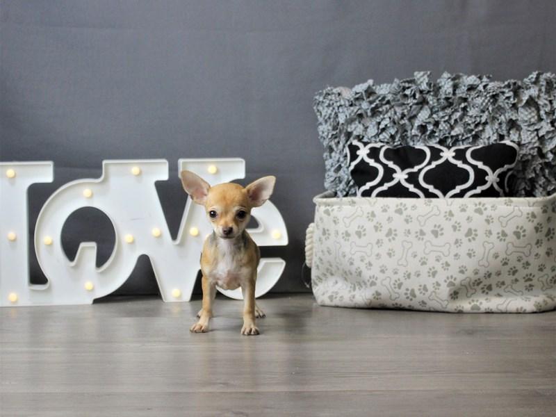 Chihuahua-DOG-Female-Chocolate Fawn-3275360-Petland Carriage Place