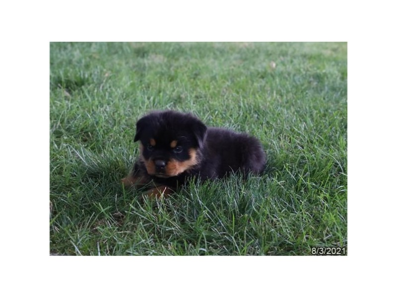 Rottweiler-Male-Black / Tan-3284454-Petland Carriage Place