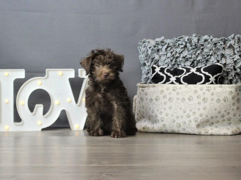 Poodle/Miniature Schnauzer-DOG-Male-Chocolate-3284566-Petland Carriage Place