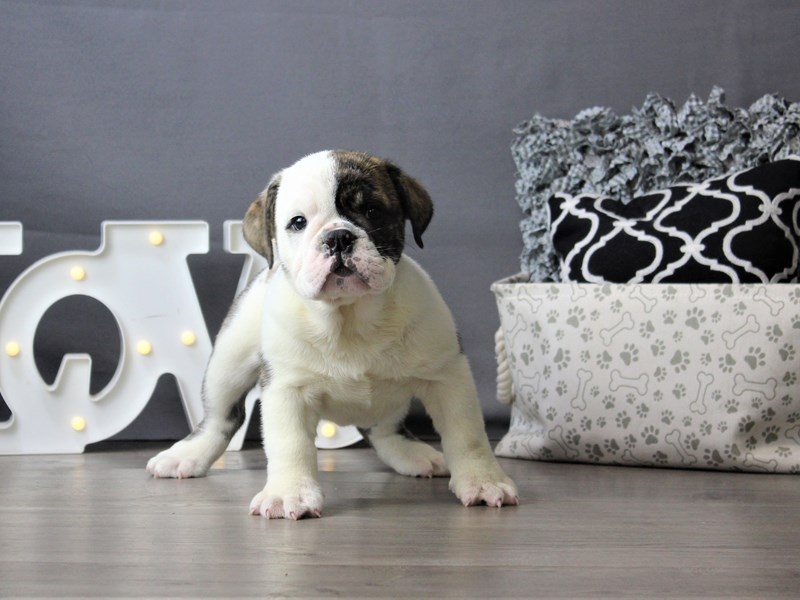 English Bulldog-DOG-Male-Brindle/ White-3199818-Petland Carriage Place