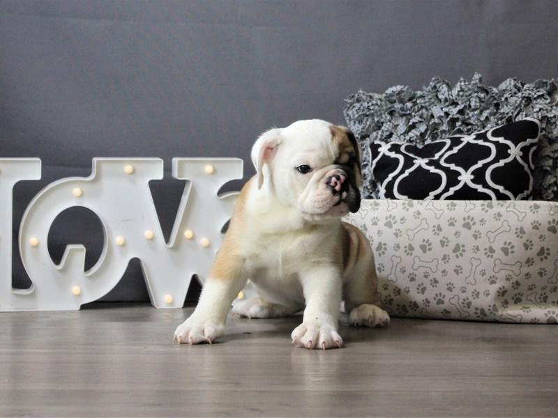English Bulldog-Male-Brown/ White-3208637-Petland Carriage Place