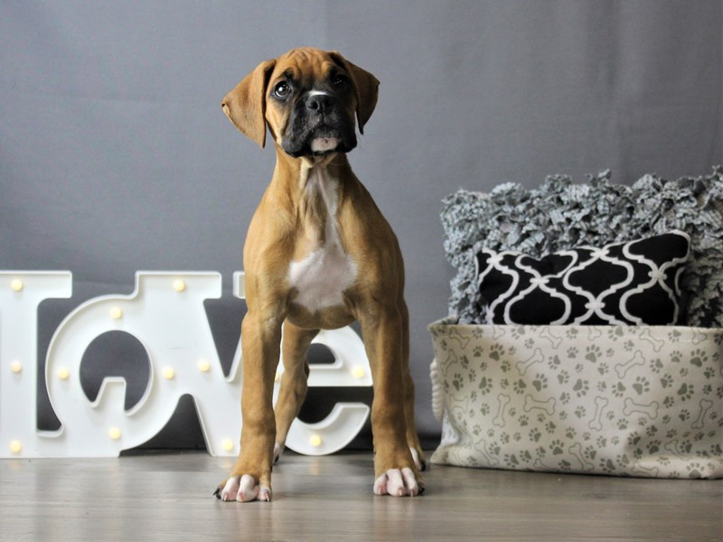 Boxer-Female-Fawn / White-3218364-Petland Carriage Place