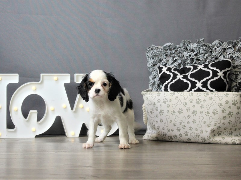 Cavalier King Charles Spaniel-Female-Tri-Colored-3218504-Petland Carriage Place