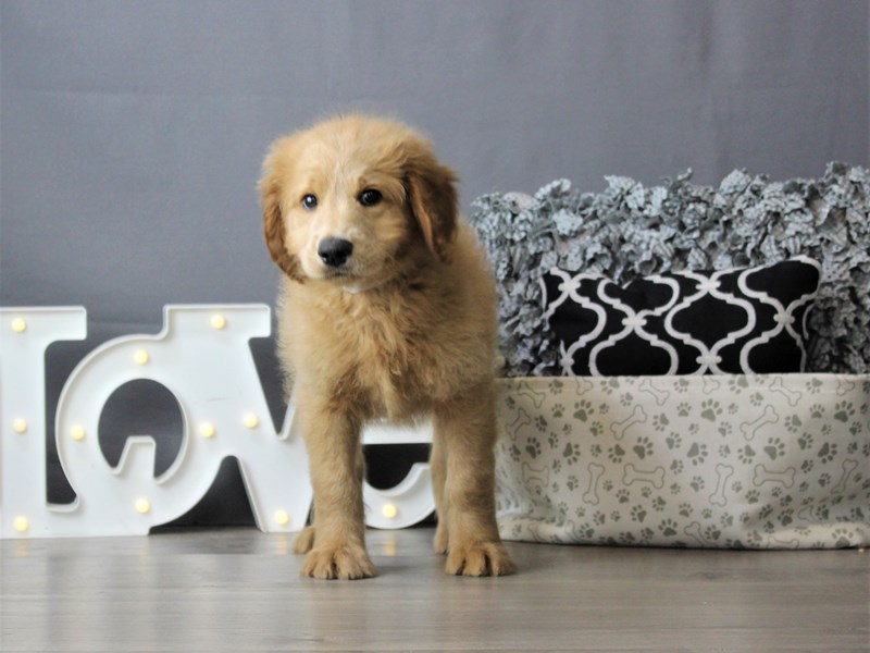 Goldendoodle-Male-Red-3237644-Petland Carriage Place