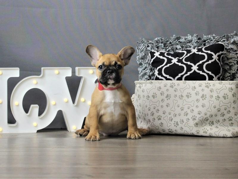 French Bulldog-DOG-Female-Fawn-3247206-Petland Carriage Place