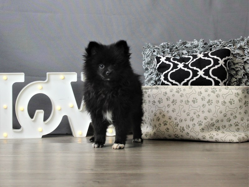 Pomeranian-Female-Black-3247222-Petland Carriage Place