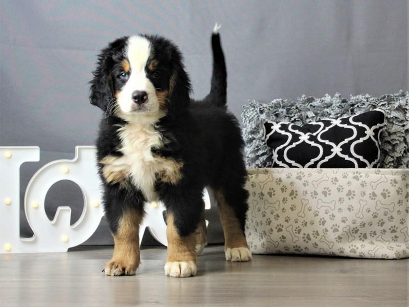 Bernese Mountain Dog-DOG-Male-Tri-Colored-3247371-Petland Carriage Place