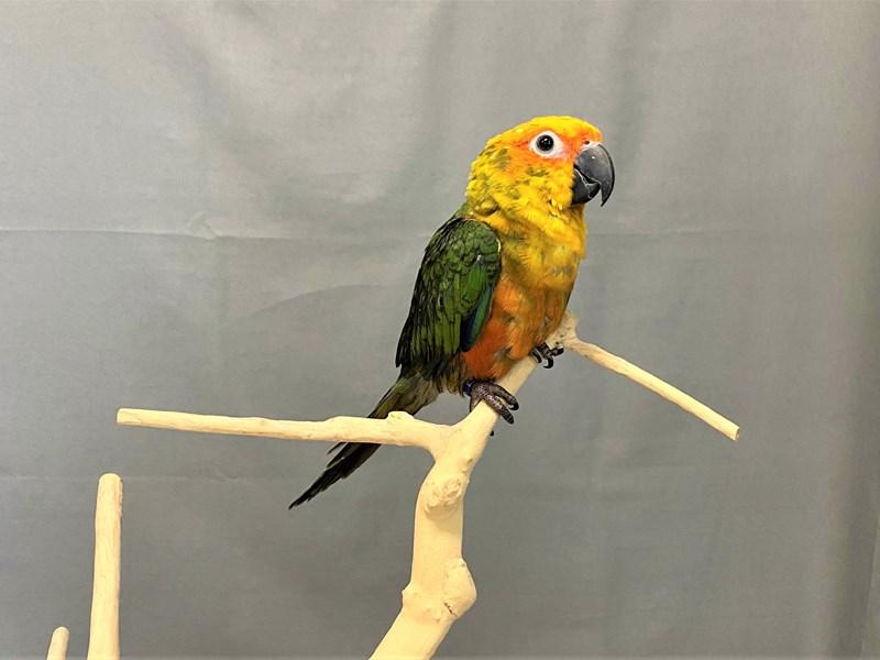 Sunday Conure-BIRD--red/yellow/orange/green-3253991-Petland Carriage Place
