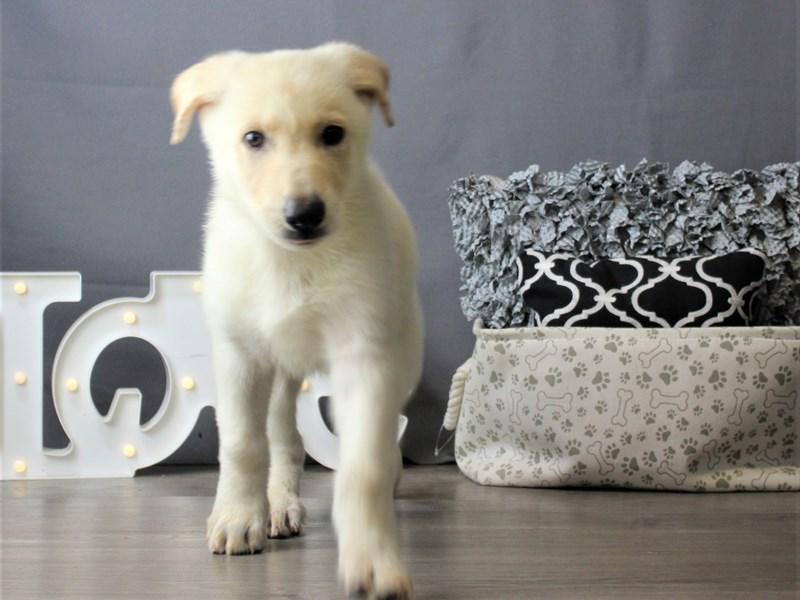 German Shepherd Dog-DOG-Male-White-3266635-Petland Carriage Place
