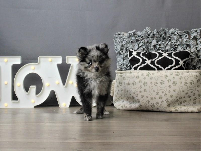 Pomeranian-DOG-Female-Blue Merle-3266638-Petland Carriage Place