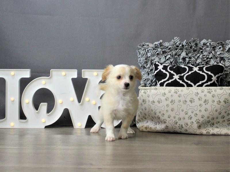 Chihuahua-DOG-Male-Cream-3266639-Petland Carriage Place