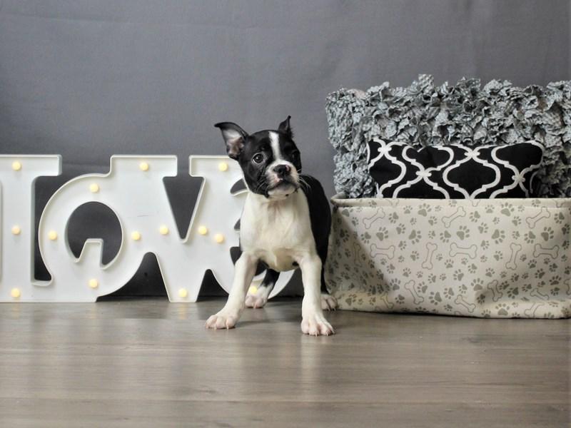 Boston Terrier-Female-Black / White-3266696-Petland Carriage Place
