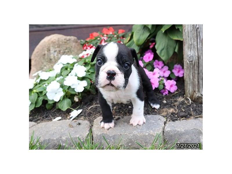 Bulldog-Male-Black / White-3275347-Petland Carriage Place