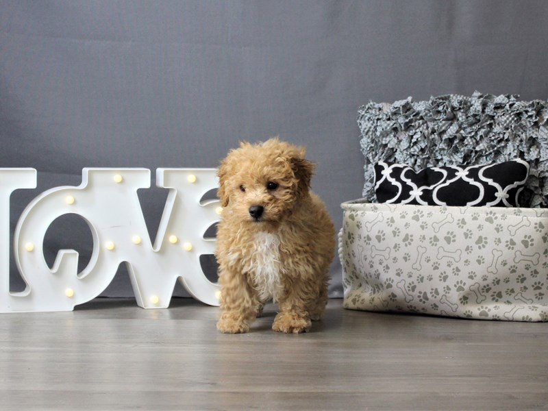 Bichon-DOG-Male-Red-3275358-Petland Carriage Place